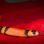 tango-the-snake